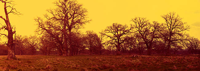 Oak trees in a forest, Vlad Tepes, Sighisoara, Mures County, Romania