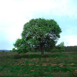 Trees in a field, Budesti Josani, Maramures, Transylvania, Romania
