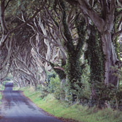 Bregagh Road beech trees, County Antrim, Northern Ireland