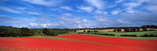 Poppy field in bloom, Worcestershire, West Midlands, England