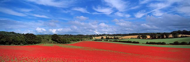 Poppy field in bloom, Worcestershire, West Midlands, England