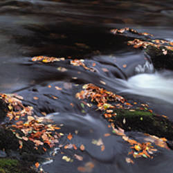 Close-up of Dart River and fallen leaves, Dartmoor, Devon, England
