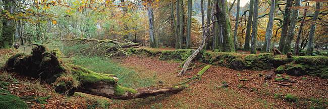 Fallen tree in the autumn, Fernworthy Reservoir, Dartmoor, Devon, England