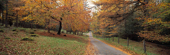 Autumn trees along a road, Fernworthy Reservoir, Dartmoor, Devon, England