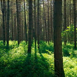 Coniferous trees in a forest, Thetford Forest, Norfolk, England