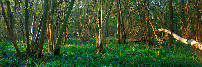Bluebells and Coppiced trees in a forest, Foxley Wood, Norfolk, England