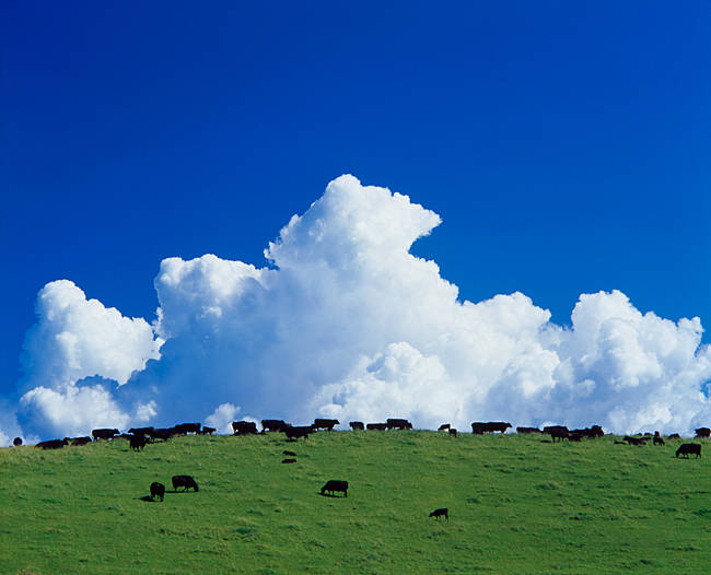 Cows grazing in green pastures with huge cloud