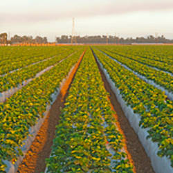 Strawberry field, Oxnard, Ventura County, California, USA