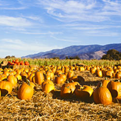 Pumpkins in a field, Santa Ynez Valley, Santa Barbara County, California, USA