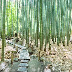 Bamboo trees at a temple, Hokokuji Temple, Kamakura, Kanagawa Prefecture, Kanto Region, Honshu, Japan