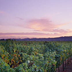 Vines in a vineyard at dusk, Napa, Napa County, California, USA