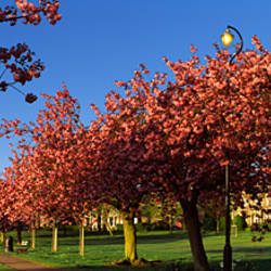 Cherry blossom in a park, Stray, Harrogate, North Yorkshire, England