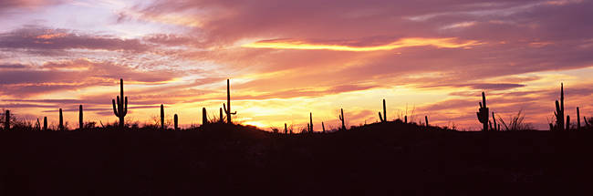 Silhouette of Saguaro cacti (Carnegiea gigantea) on a landscape, Saguaro National Park, Tucson, Pima County, Arizona, USA