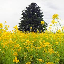 Oilseed rape (Brassica napus) field, Tokyo Prefecture, Japan