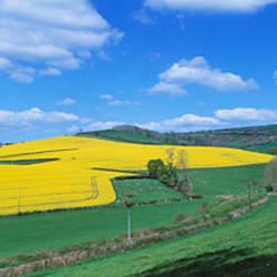 Oilseed rape (Brassica napus) field, Exe Valley, Devon, England