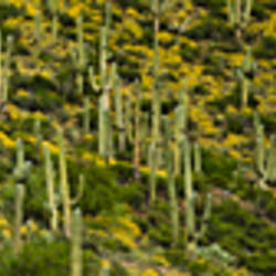 Saguaro cacti (Carnegiea gigantea) and Brittlebush on a landscape, Arizona, USA
