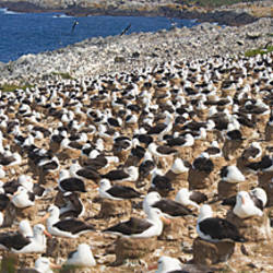 Colony of Black-browed albatross (Thalassarche melanophrys) on the beach, Falkland Islands