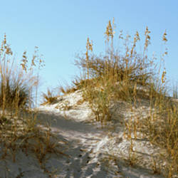 Grass on sand dunes, Anastasia State Park, St. Augustine Beach, St. Johns County, Florida, USA