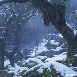 Snow covered trees, Wistman's Wood, Dartmoor National Park, Devon, England