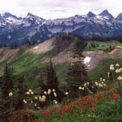 Wildflowers on mountains, Mt Rainier, Pierce County, Washington State, USA