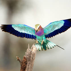 Close-up of a Lilac-Breasted Roller (Coracias caudatus), Tarangire National Park, Tanzania