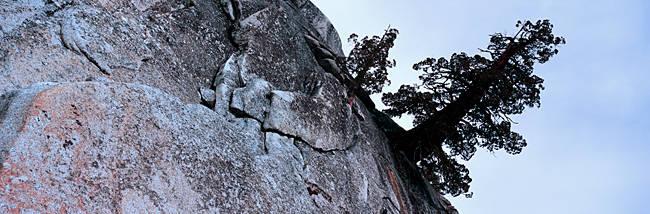 Tree near a rock formation, Yosemite National Park, California, USA