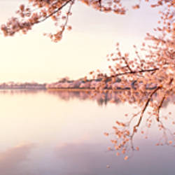 Cherry blossoms at the lakeside, Washington DC, USA