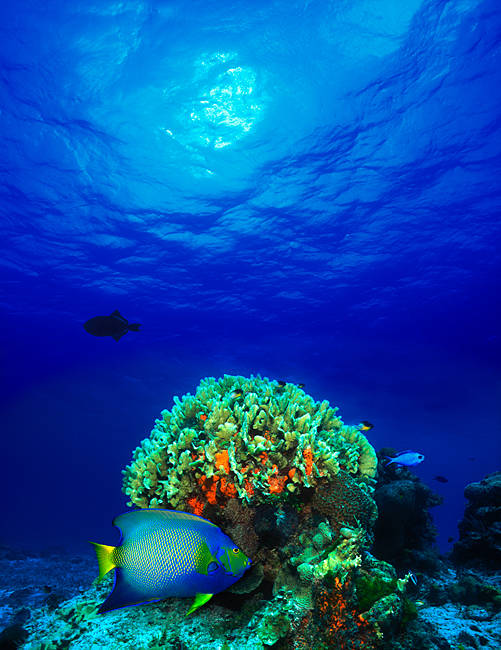 Queen angelfish (Holacanthus ciliaris) and Blue chromis (Chromis cyanea) with Black Durgon in the sea