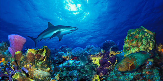 Caribbean Reef shark (Carcharhinus perezi) Rainbow Parrotfish (Scarus guacamaia) in the sea
