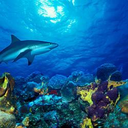 Caribbean Reef shark (Carcharhinus perezi) Rainbow Parrotfish (Scarus guacamaia) in the sea