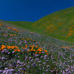 Wildflowers on a hillside, California, USA