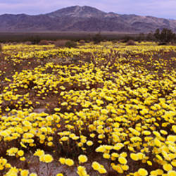Wildflowers on a landscape, Joshua Tree National Monument, San Bernardino County, California, USA