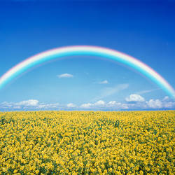 Rainbow spans over a field of yellow flowers