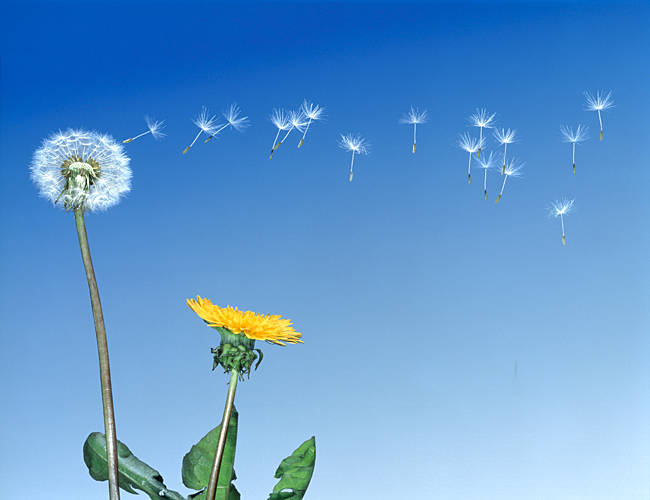 Dandelion (Taraxacum officinale) seeds blowing in the air
