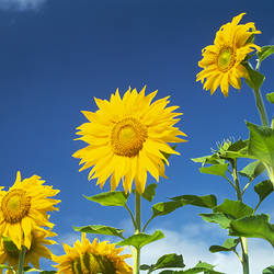 Close-up of sunflowers (Helianthus annuus), Japan
