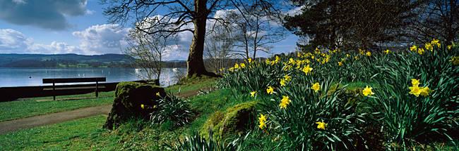 Daffodils at the lakeside, Lake Windermere, English Lake District, Cumbria, England