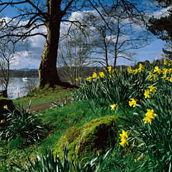 Daffodils at the lakeside, Lake Windermere, English Lake District, Cumbria, England