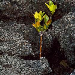 Plant growing in lava, Genovesa Island, Galapagos Islands, Ecuador