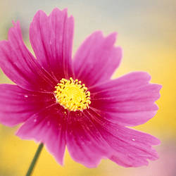 Close-up of a cosmos flower