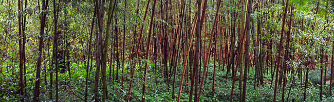 Bamboos in a field, Kanapaha Botanical Gardens, Gainesville, Florida, USA