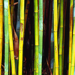 Bamboo trees in a botanical garden, Kanapaha Botanical Gardens, Gainesville, Alachua County, Florida, USA