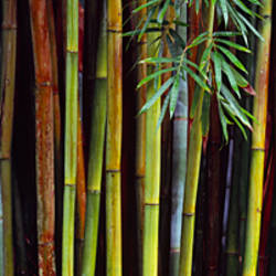 Close-up of bamboos, Kanapaha Botanical Gardens, Gainesville, Florida, USA