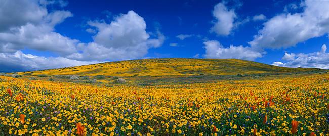 California Golden poppies (Eschscholzia californica) blooming, Antelope Valley California Poppy Reserve, Antelope Valley, California, USA