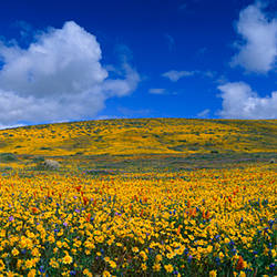 California Golden poppies (Eschscholzia californica) blooming, Antelope Valley California Poppy Reserve, Antelope Valley, California, USA