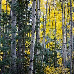 Grove of aspen trees, Italianos Trail, Highway 150, Taos County, New Mexico, USA