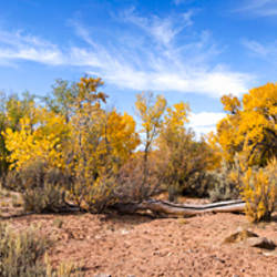 Cottonwood trees in dry riverbed near State Route 95, Hite, Garfield County, Utah, USA
