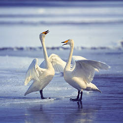 Swans on the beach