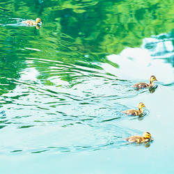 Baby geese swimming in water