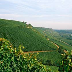 Vineyards along a river, Niersteiner Hang, Rhine River, Nackenheim, Mainz-Bingen, Rhineland-Palatinate, Rheinhessen, Germany