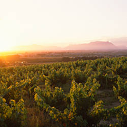 Sunset over a vineyard with Table Mountain in the background, Stellenbosch, Cape Winelands, Western Cape Province, South Africa
